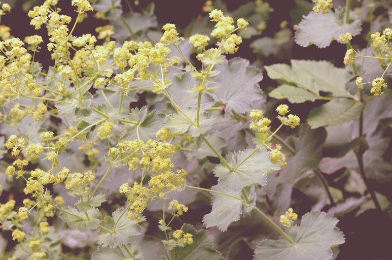 alchemilla Frauenmantel Pflanze